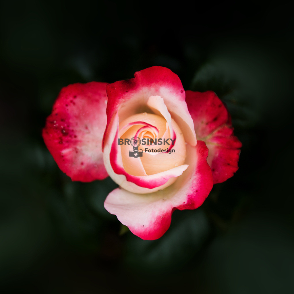 White-red Rose   Format 1x1