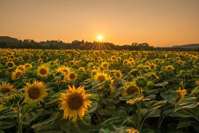 Sonnenblumenfeld | wunderschönes Sonnenblumenfeld in der untergehenden Sonne