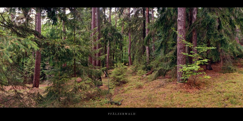 Pfälzerwald | Nadelwald mit Kiefern und Fichten im Pfälzerwald