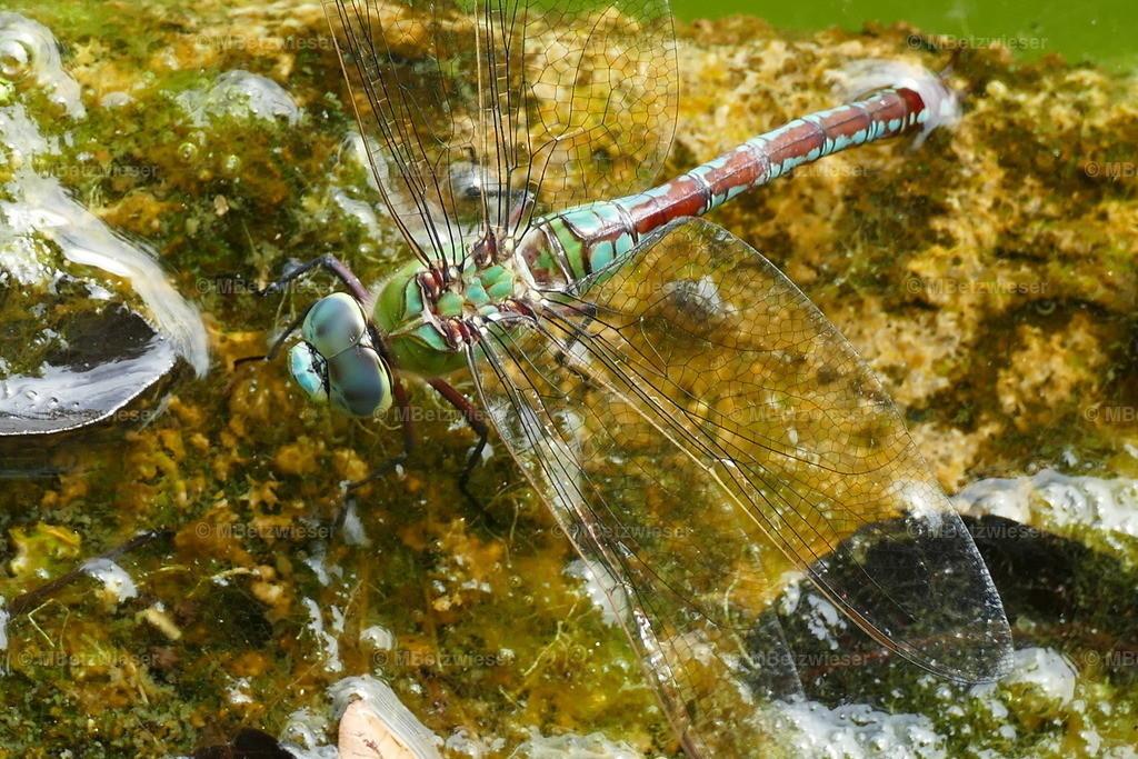 P1010540 | Libelle bei der Eiablage