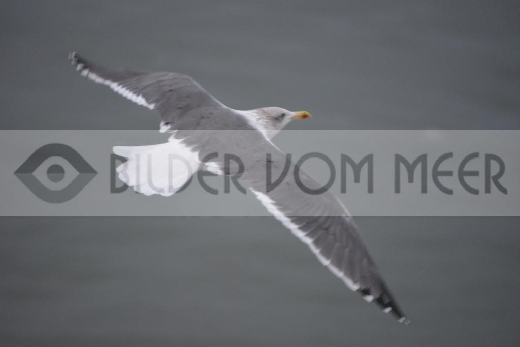 Möwen Bilder   Möwe im Gleitflug