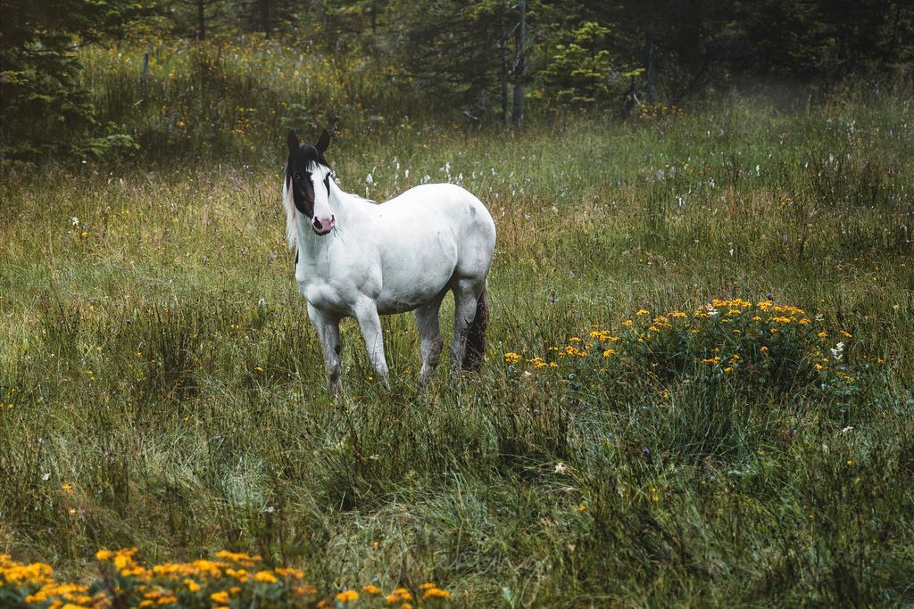 Weißes Pferd auf der Alm   Weißes Pferd mit schwarzem Kopf auf einer Feuchtwiese am Berg