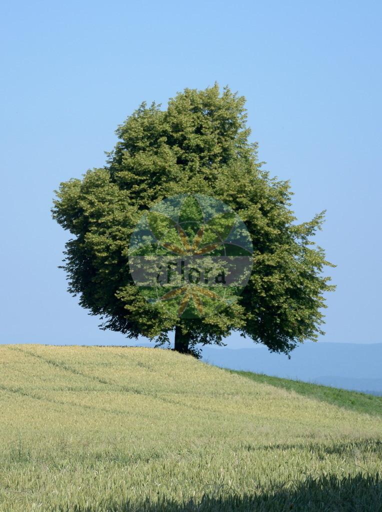 Acer pseudoplatanus (Berg-Ahorn - Sycamore) | Foto von Acer pseudoplatanus (Berg-Ahorn - Sycamore). Das Foto wurde in Alpen, Alpen aufgenommen. ---- Photo of Acer pseudoplatanus (Berg-Ahorn - Sycamore).The picture was taken in Alps, Alps.