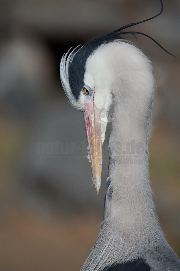 Graureiher | Der Graureiher ist in etwa 90 cm groß und wiegt zwischen 1000 und 3000 Gramm. Das Gefieder auf Stirn und Oberkopf ist weiß, am Hals grauweiß und auf dem Rücken aschgrau mit weißen Bändern. Er fliegt mit langsamen Flügelschlägen und zurückgezogenem Kopf.