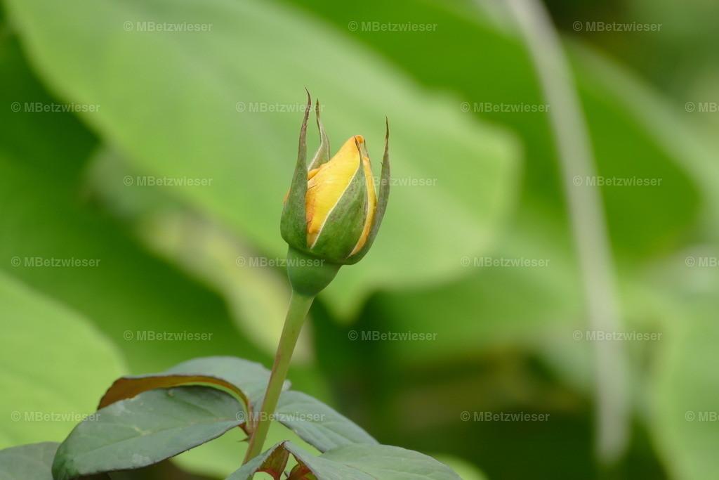P1020102 | Gelbe Rose