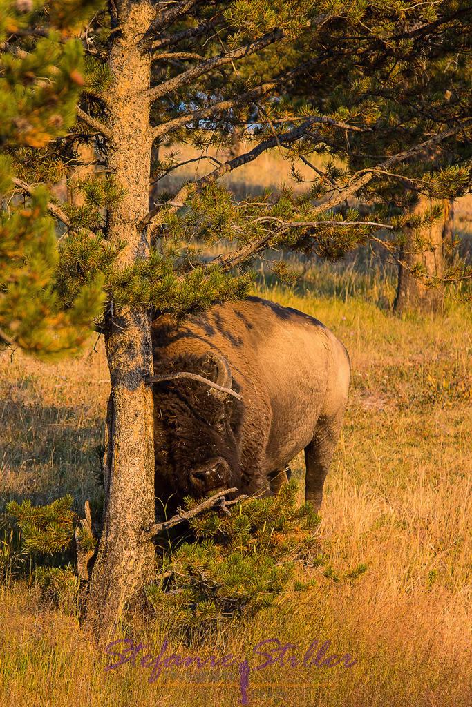 Bison zur Golden Hour | Bison reibt sich am Baum im roten Schein der untergehenden Sonne
