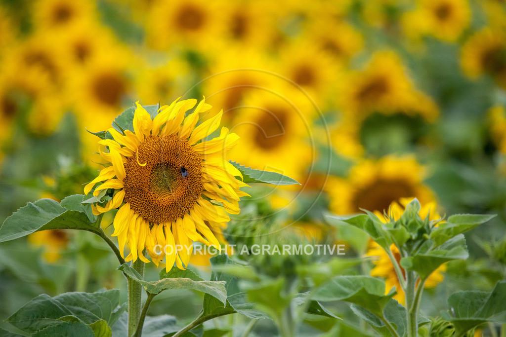 20090711-IMG_3661 | blühende Sonnenblumen im Sommer - AGRARMOTIVE Bilder aus der Landwirtschaft