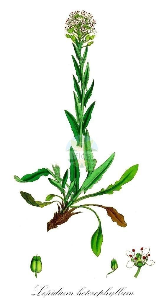 Historical drawing of Lepidium heterophyllum (Smith's Pepperwo   Historical drawing of Lepidium heterophyllum (Smith's Pepperwort) showing leaf, flower, fruit, s