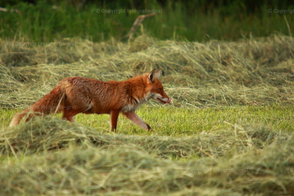 Fuchs auf dem Feld