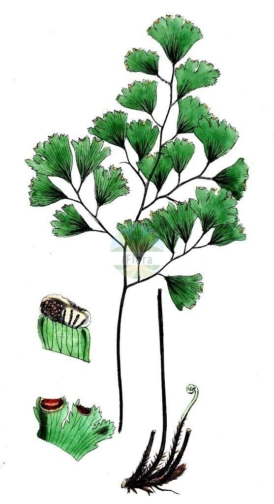 Adiantum capillus-veneris | Historische Abbildung von Adiantum capillus-veneris. Das Bild zeigt Blatt, Bluete, Frucht und Same. ---- Historical Drawing of Adiantum capillus-veneris.The image is showing leaf, flower, fruit and seed.