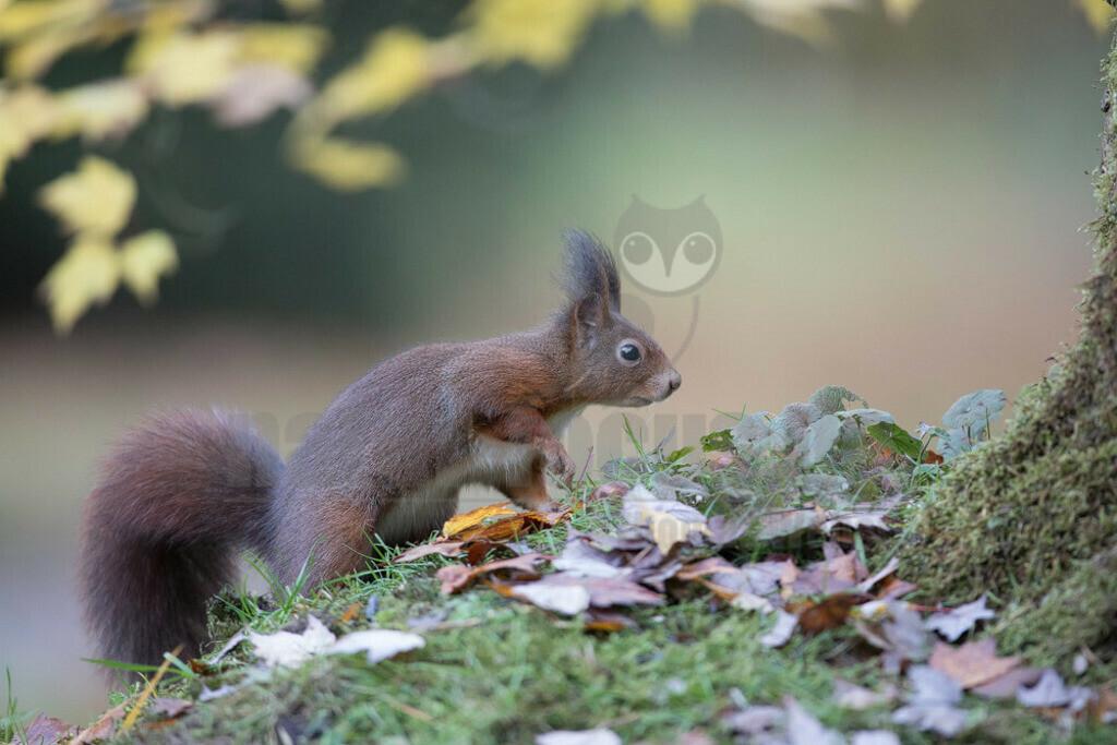 20171104-663A7535 Kopie   Das Eichhörnchen (Sciurus vulgaris), regional auch Eichkätzchen, Eichkatz(er)l, Eichkater oder niederdeutsch Katteker, ist ein Nagetier aus der Familie der Hörnchen (Sciuridae). Es ist der einzige natürlich in Mitteleuropa vorkommende Vertreter aus der Gattung der Eichhörnchen und wird zur Unterscheidung von anderen Arten wie dem Kaukasischen Eichhörnchen und dem in Europa eingebürgerten Grauhörnchen auch als Europäisches Eichhörnchen bezeichnet.