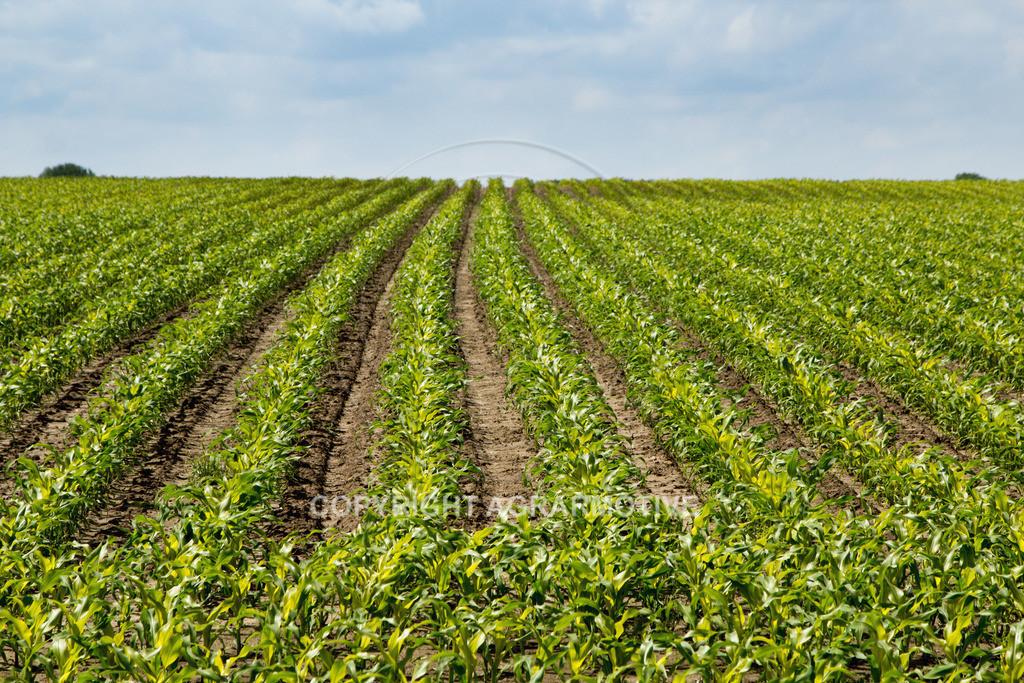 20120607-_MG_3588 | heranwachsender Maisbestand im Sommer