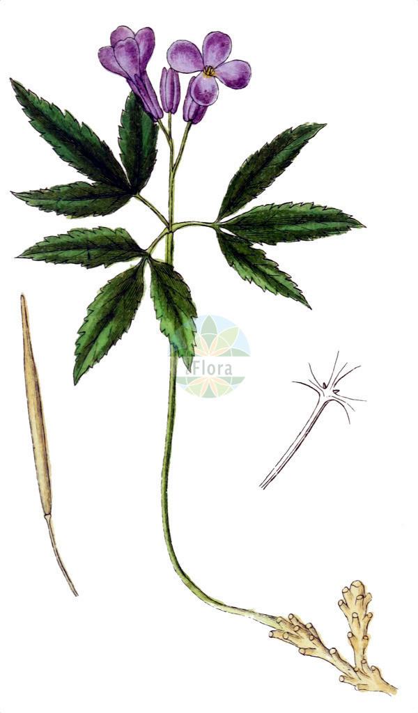 Cardamine glanduligera | Historische Abbildung von Cardamine glanduligera. Das Bild zeigt Blatt, Bluete, Frucht und Same. ---- Historical Drawing of Cardamine glanduligera.The image is showing leaf, flower, fruit and seed.