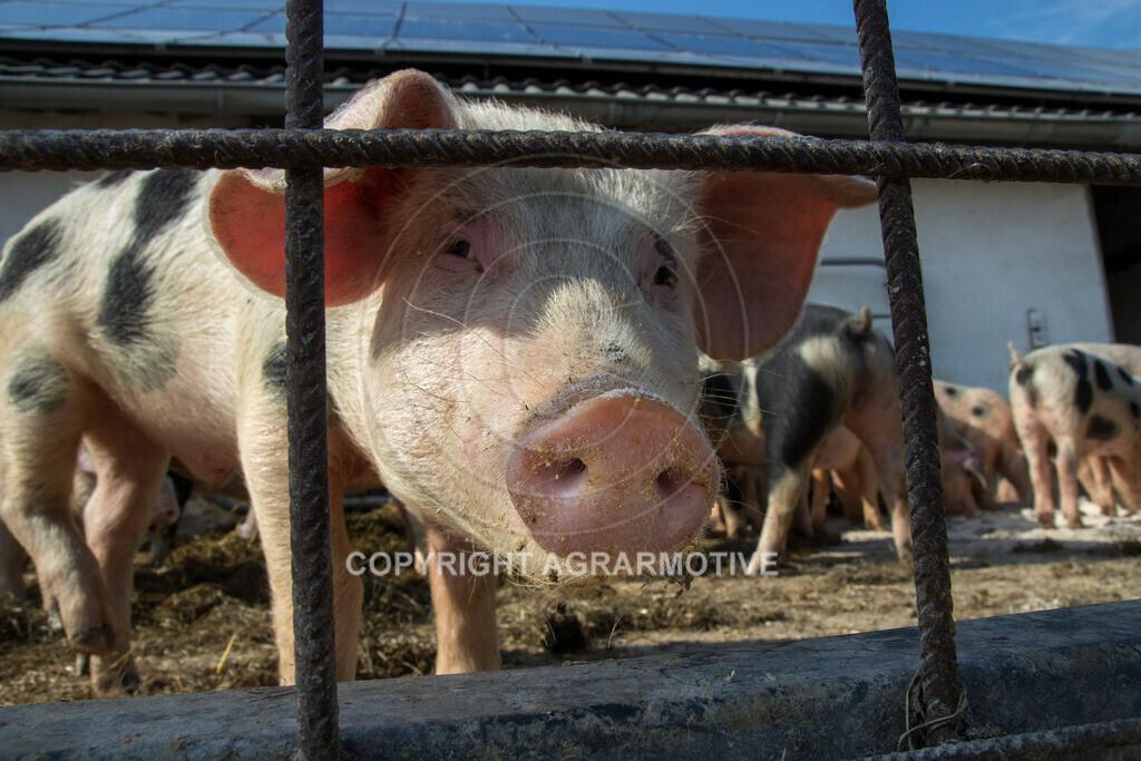 20130425-_MG_6243 | Bioschweine - AGRARMOTIVE Bilder aus der Landwirtschaft
