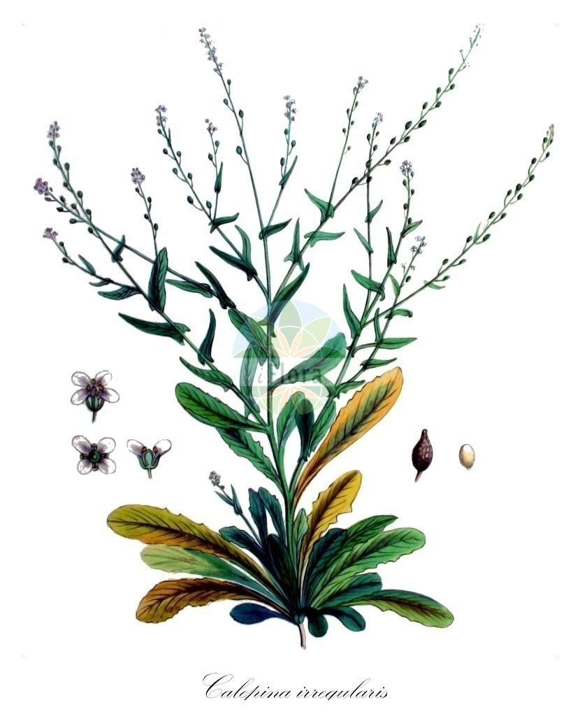 Historical drawing of Calepina irregularis (White Ball-mustard) | Historical drawing of Calepina irregularis (White Ball-mustard) showing leaf, flower, fruit, seed