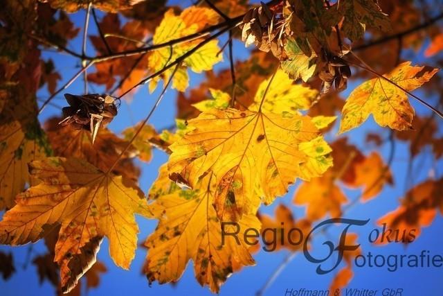 Farbspiel | Kräftig scheint die Herbstsonne durch das gelbe Blätterdach
