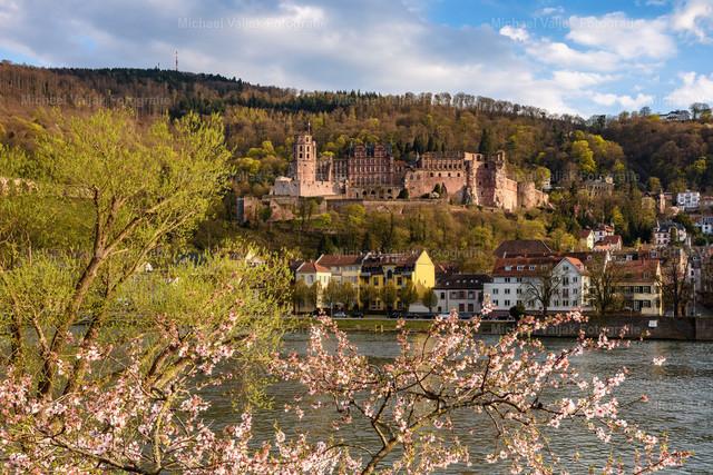 Frühling in Heidelberg   Die Natur erwacht in Heidelberg, die Kirschbäume am Neckarufer blühen und das erste Blattgrün der Bäume sorgt für Farbtupfer. Im Hintergrund ist das Schloss Heidelberg zu sehen, das Wahrzeichen der Stadt.