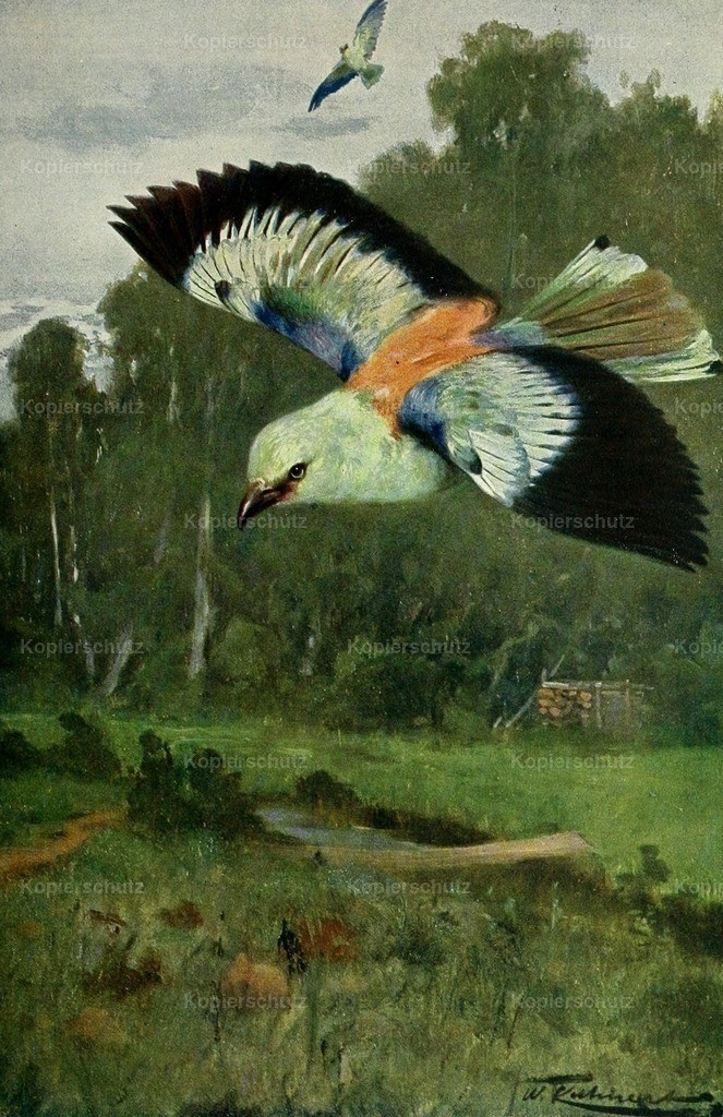 Kuhnert_ F.W. (1865-1926) - Wild Life of the World 1916 - Blue Roller
