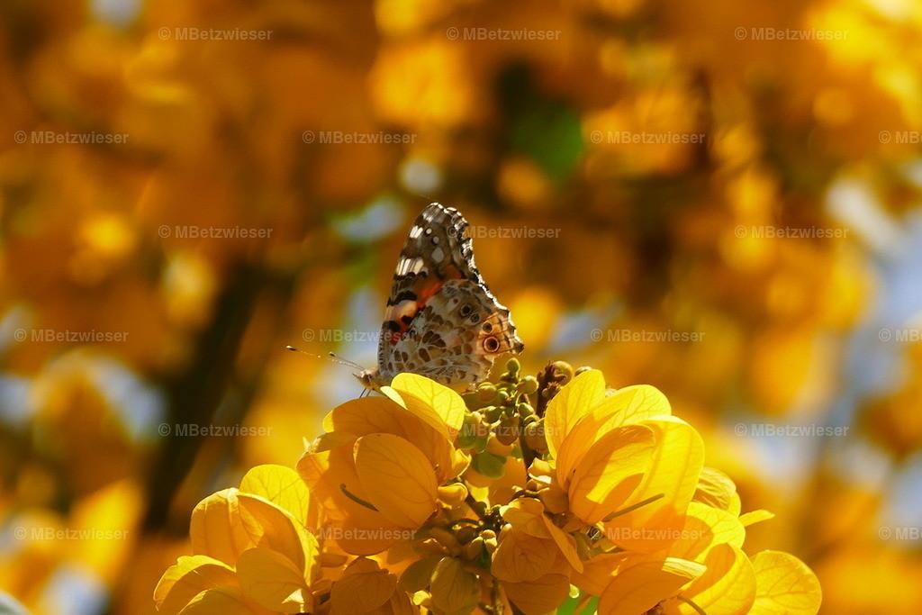 P1010741 | Falter auf Blüte