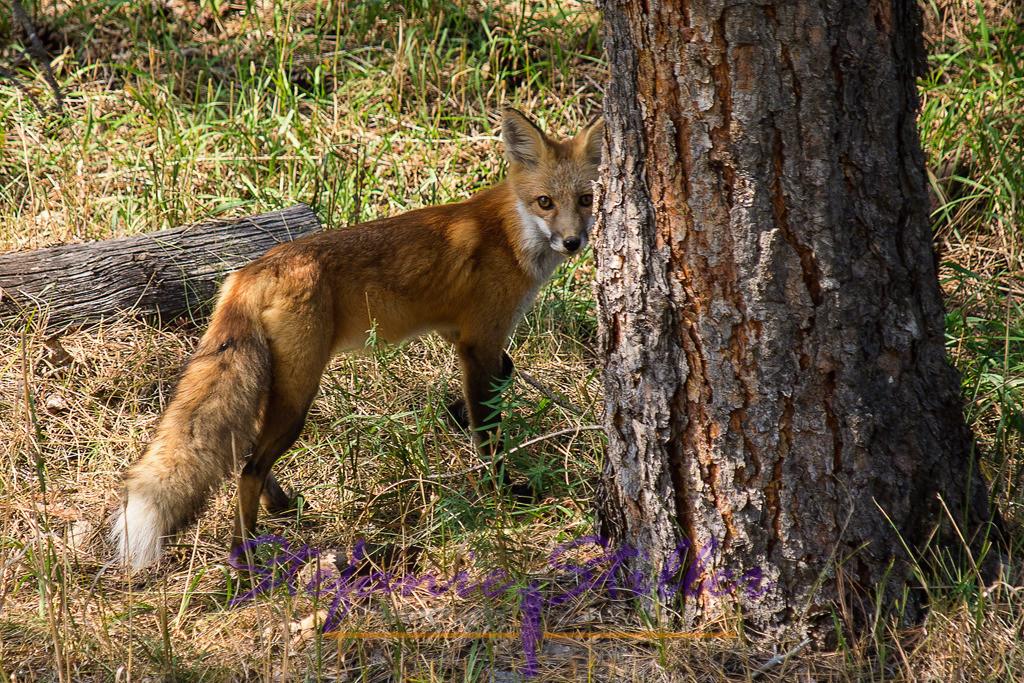 Fuchs | wilder Fuchs schaut in die Kamera