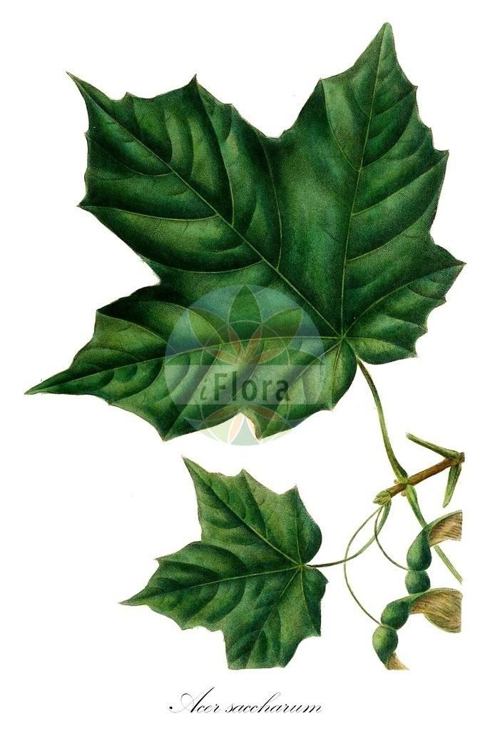 Acer saccharum (Zucker-Ahorn - Sugar Maple)   Historische Abbildung von Acer saccharum (Zucker-Ahorn - Sugar Maple). Das Bild zeigt Blatt, Bluete, Frucht und Same. ---- Historical Drawing of Acer saccharum (Zucker-Ahorn - Sugar Maple).The image is showing leaf, flower, fruit and seed.