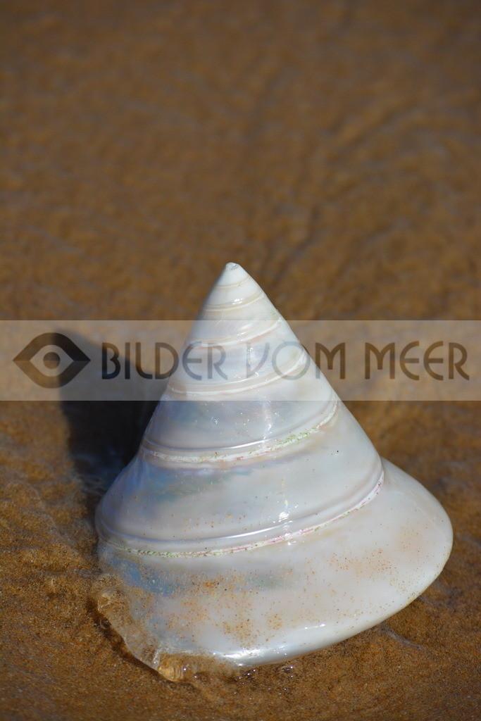 Muschel Bilder vom Strand   Muschelbilder vom Meer