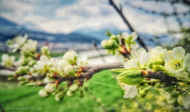 Frühling in Tirol  | Obstblüte in Tirol