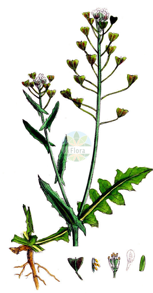 Capsella bursa-pastoris (Gewoehnliches Hirtentaeschel - Shepherd's-pur   Historische Abbildung von Capsella bursa-pastoris (Gewoehnliches Hirtentaeschel - Shepherd's-purse). Das Bild zeigt Blatt, Bluete, Frucht und Same. ---- Historical Drawing of Capsella bursa-pastoris (Gewoehnliches Hirtentaeschel - Shepherd's-purse).The image is showing leaf, flower, fruit an