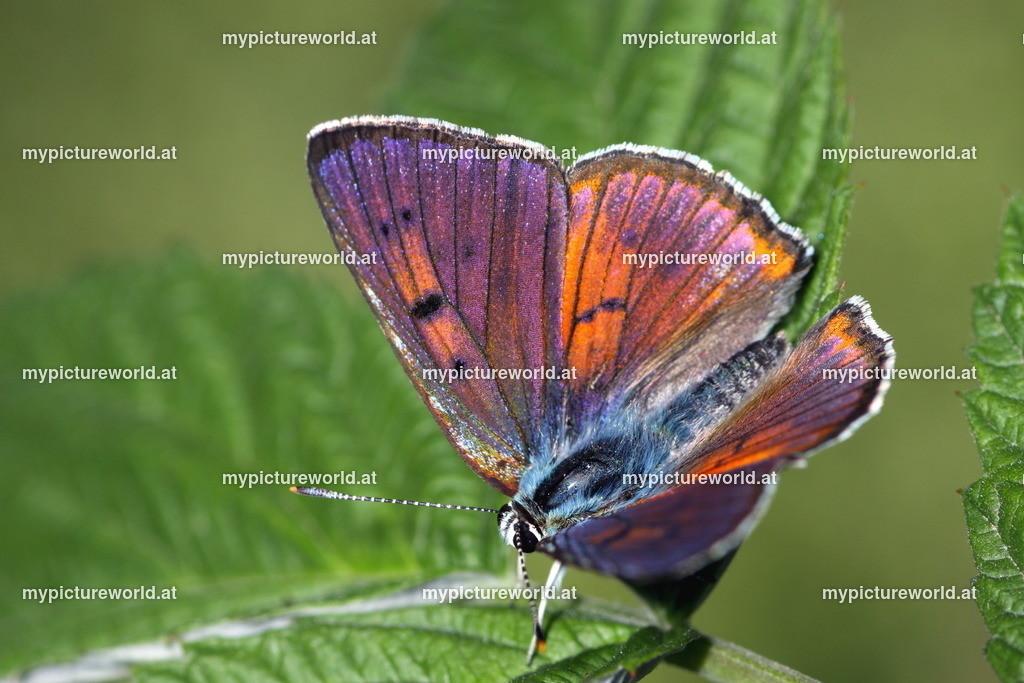 Lycaena alciphron-013