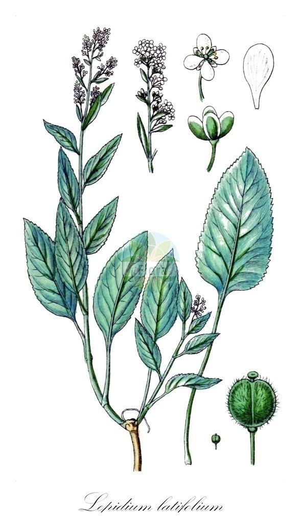 Historical drawing of Lepidium latifolium (Dittander) | Historical drawing of Lepidium latifolium (Dittander) showing leaf, flower, fruit, seed