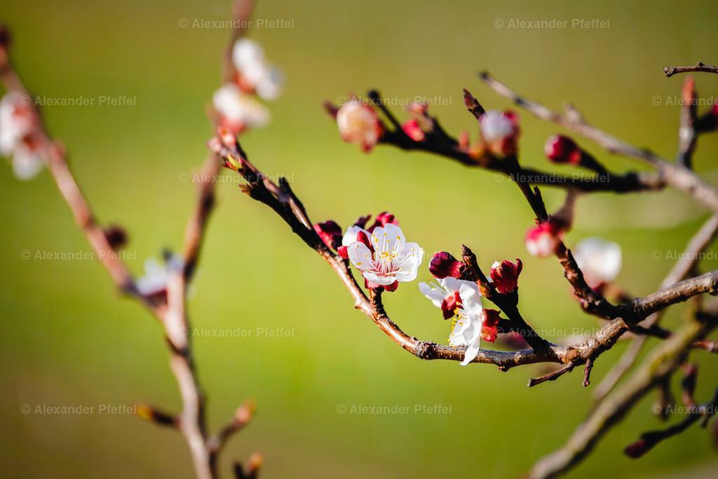 marille_bluete_(c)apfeffel-29   foto_(c)apfeffel