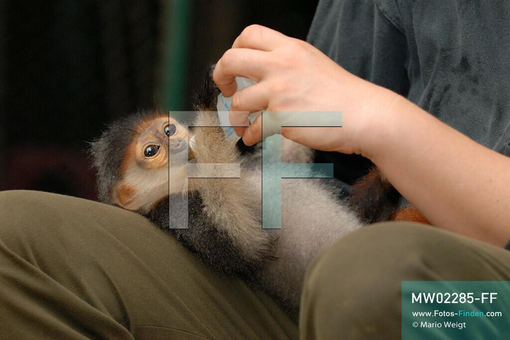 MW02285-FF | Vietnam | Provinz Ninh Binh | Reportage: Endangered Primate Rescue Center | Affenbaby (Rotgeschenkliger Kleideraffe) erhält von einer Tierpflegerin Milch. Der Deutsche Tilo Nadler leitet das Rettungszentrum für gefährdete Primaten im Cuc-Phuong-Nationalpark.   ** Feindaten bitte anfragen bei Mario Weigt Photography, info@asia-stories.com **