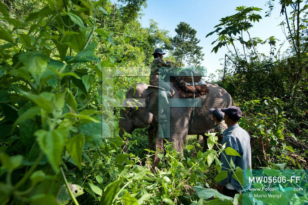 MW05606-FF | Laos | Provinz Sayaboury | Reportage: Arbeitselefanten in Laos | Mahut (Tierpfleger) mit seinem Arbeitselefanten im Dschungel.  Lane Xang -