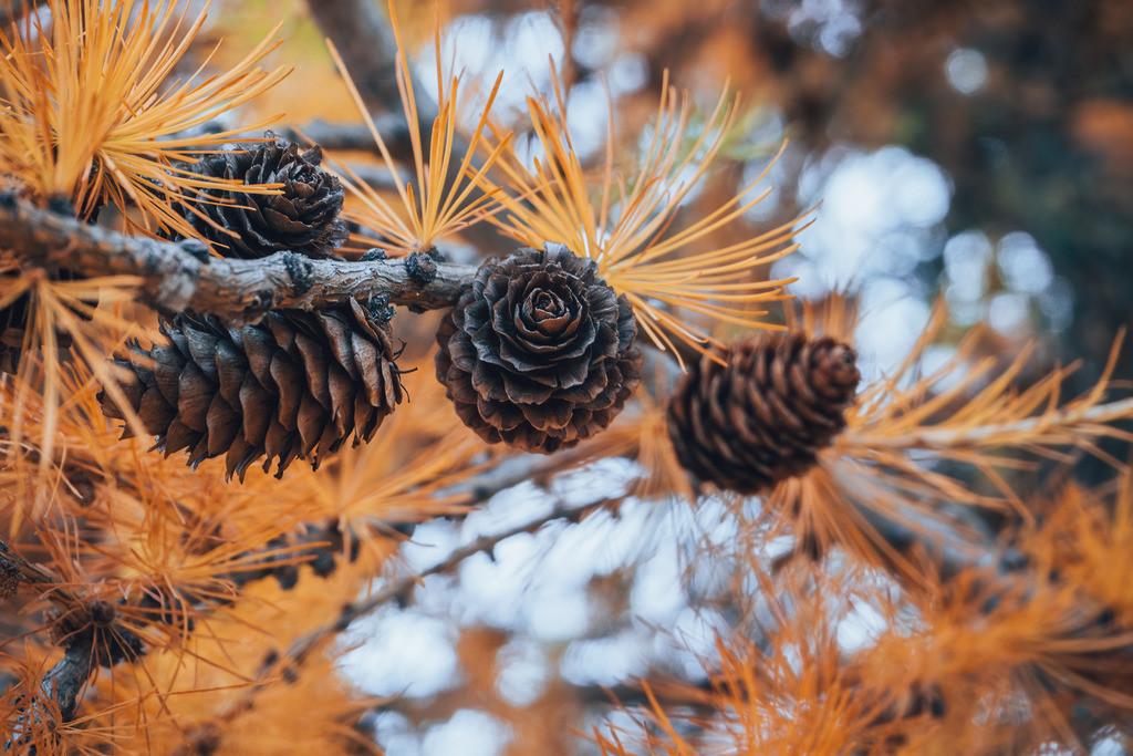 Zweig mit Kiefernzapfen am Tekapo See   Zweig mit Kiefernzapfen am Tekapo See