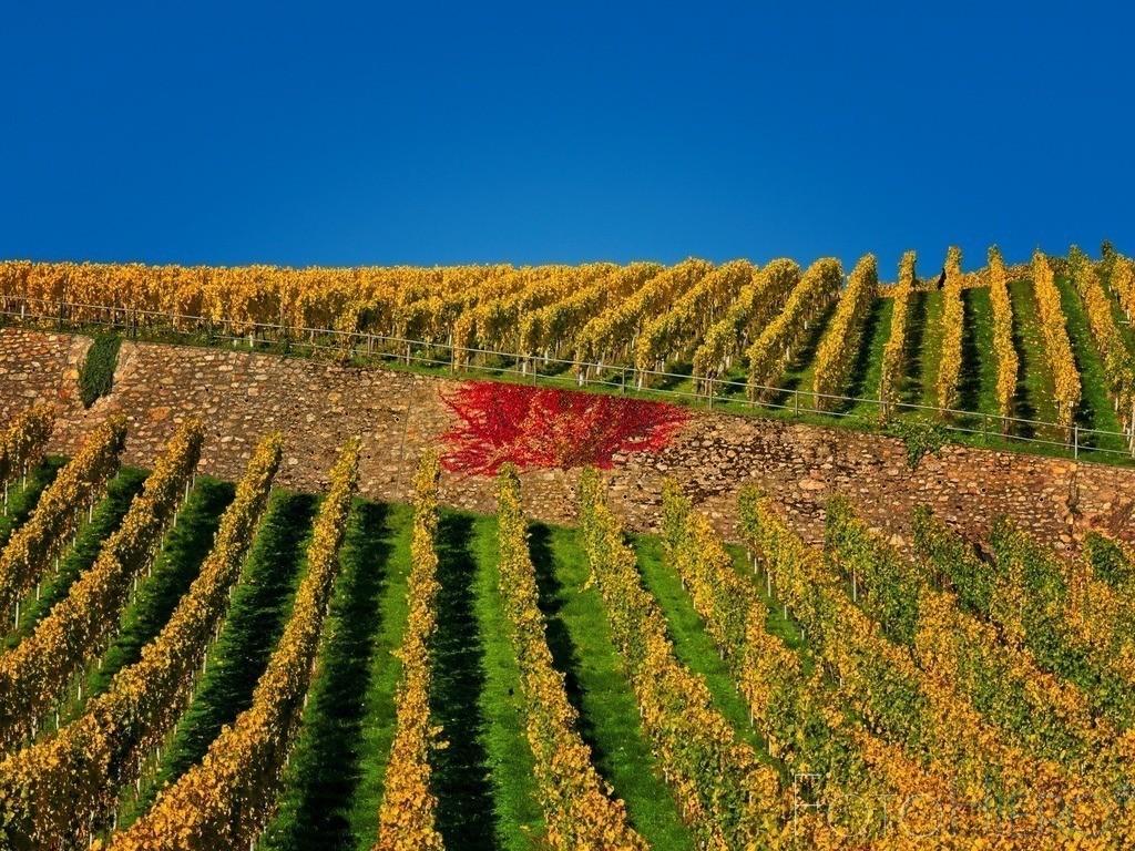 Weinberg im Herbst   herbstlich gefärbter Weinberg mit alter Stützmauer an der sich roter Wein rankt