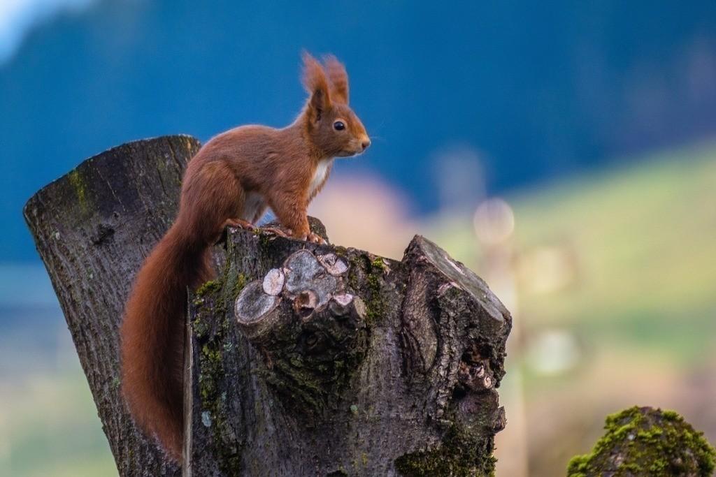 Eichhörnchen   Eichhörnchen posiert auf einem Baumstumpf