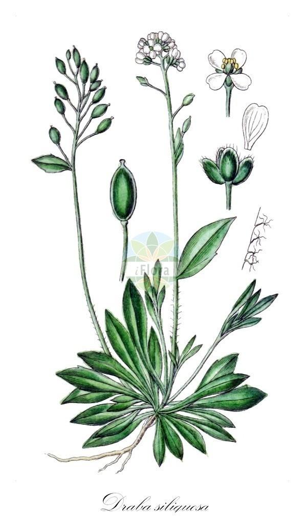 Historical drawing of Draba siliquosa (Carinthian Whitlowgrass) | Historical drawing of Draba siliquosa (Carinthian Whitlowgrass) showing leaf, flower, fruit, seed