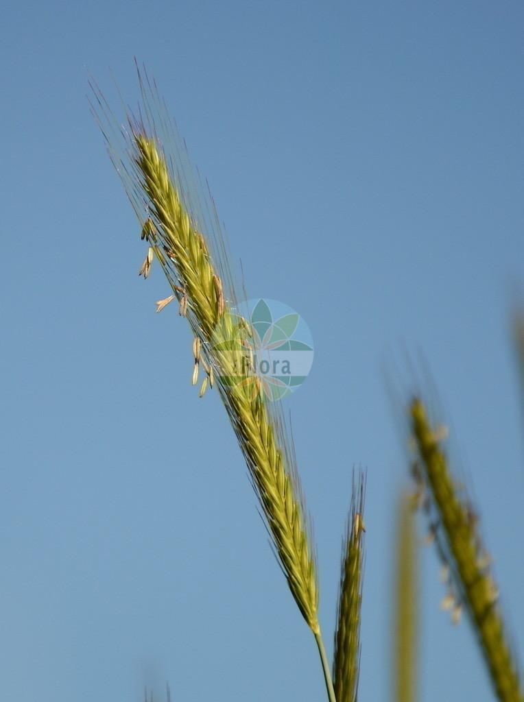 Hordeum vulgare (Saat-Gerste - Six-rowed Barley)   Foto von Hordeum vulgare (Saat-Gerste - Six-rowed Barley). Das Bild zeigt Bluete und Frucht. Das Foto wurde in Besancon, Bourgogne-Franche-Comté (Praefektur), Frankreich aufgenommen. ---- Photo of Hordeum vulgare (Saat-Gerste - Six-rowed Barley).The image is showing flower and fruit.The picture was taken in Besançon, Bourgogne-Franche-Comté.