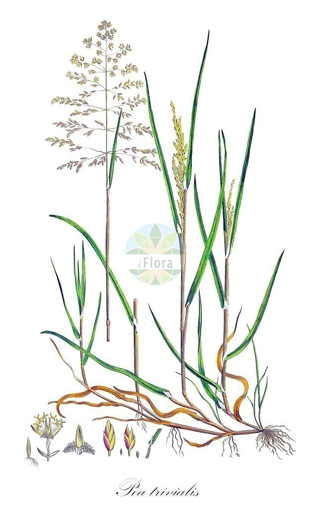 Historical drawing of Poa trivialis (Rough Meadow-grass) | Historical drawing of Poa trivialis (Rough Meadow-grass) showing leaf, flower, fruit, seed