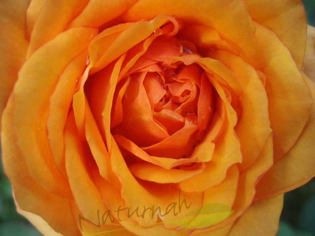 La vie en orange | Rose in Orange - betörend.