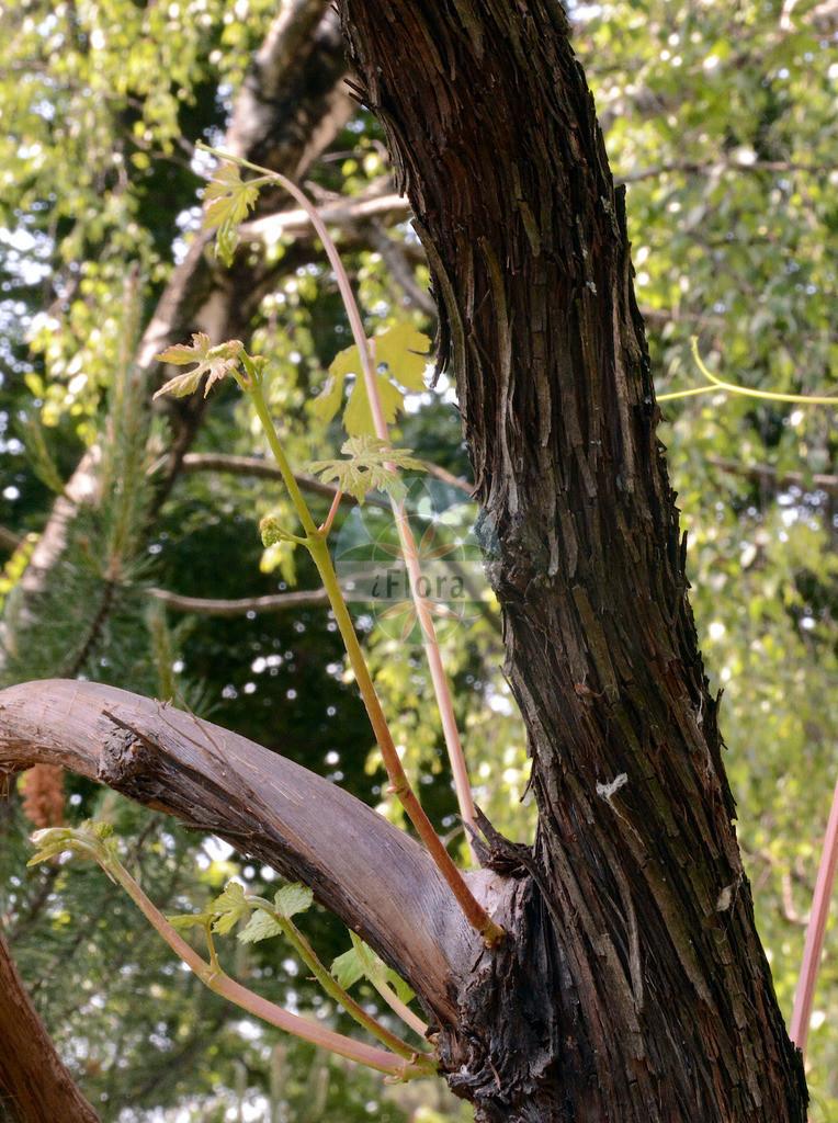 Vitis vinifera (Weinrebe - Grape-vine) | Foto von Vitis vinifera (Weinrebe - Grape-vine). Das Foto wurde in Wien, Österreich aufgenommen. ---- Photo of Vitis vinifera (Weinrebe - Grape-vine).The picture was taken in Vienna, Austria.