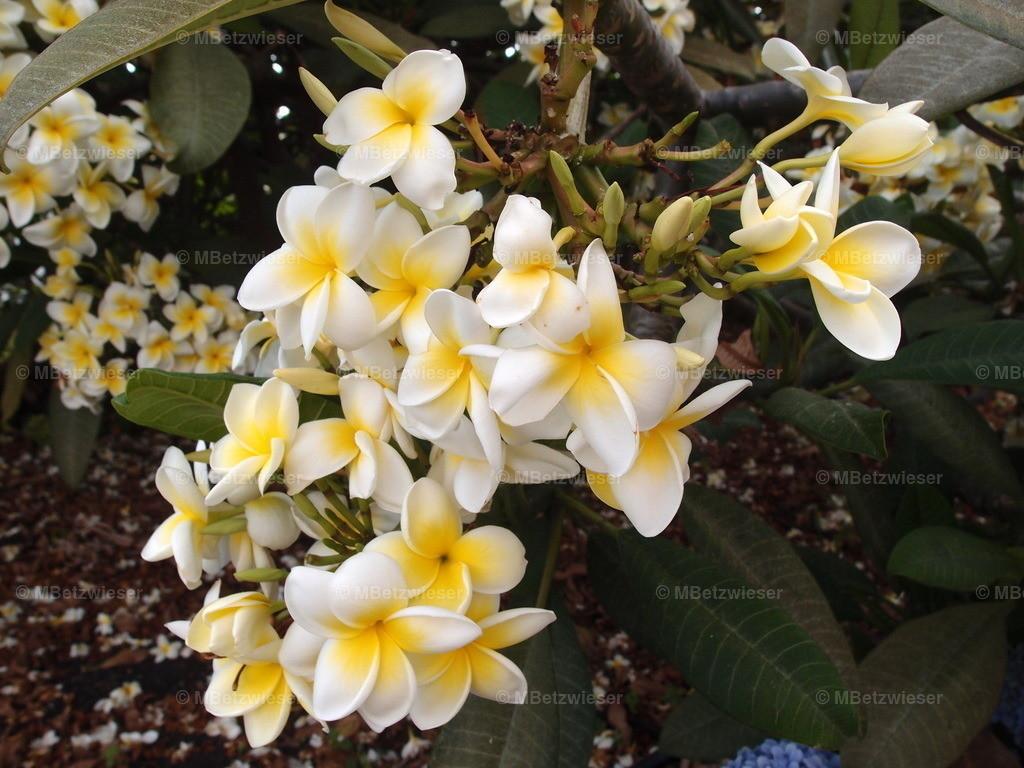 P9166512 |  Die Frangipani (Plumeria alba)  wächst als Baum