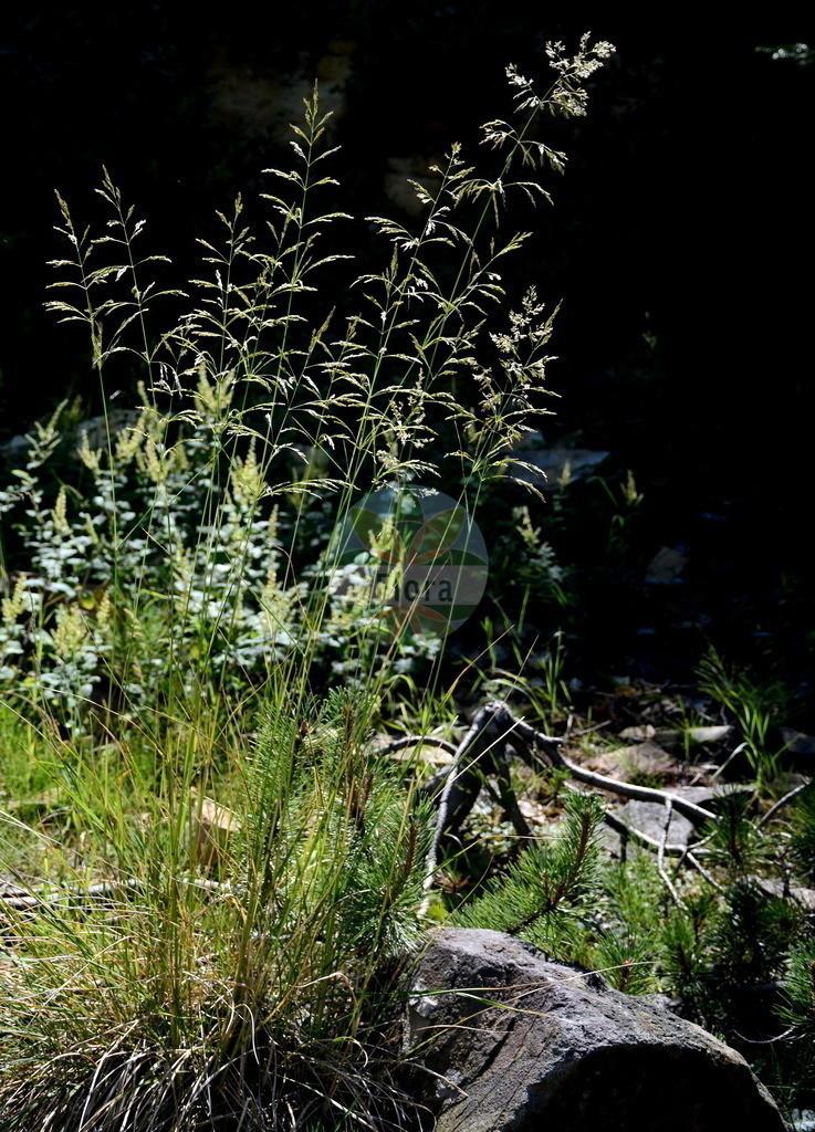 Deschampsia cespitosa (Rasen-Schmiele - Tufted Hair-grass) | Foto von Deschampsia cespitosa (Rasen-Schmiele - Tufted Hair-grass). Das Foto wurde in Osnabrueck, Niedersachsen, Deutschland aufgenommen. ---- Photo of Deschampsia cespitosa (Rasen-Schmiele - Tufted Hair-grass).The picture was taken in Osnabrueck, Lower Saxony, Germany.