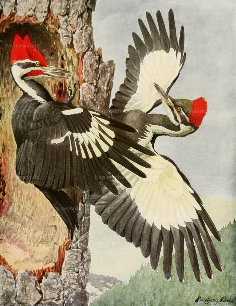 Fuertes_ L.A. (1874-1927) - Birds of America 1923 - Pileated Woodpecker