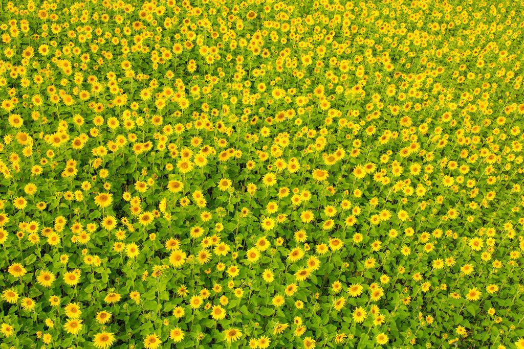 JT-161007-003   Sonnenblumen Feld, viele Sonnenblumen, Helianthus annuus,
