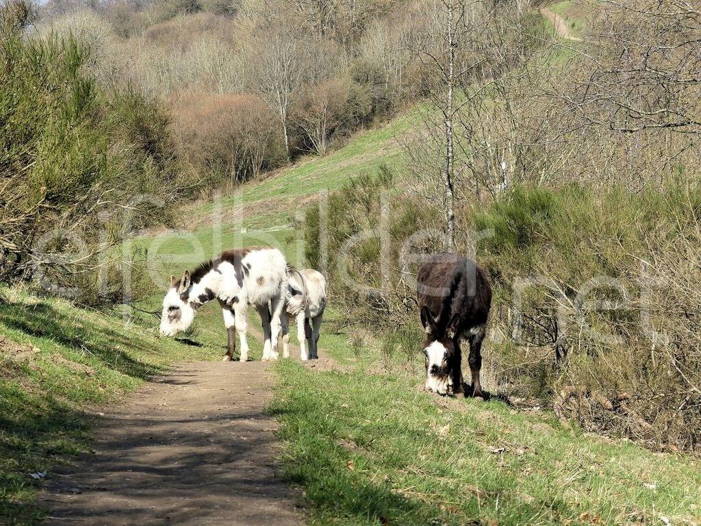 Esel am Weinfelder Maar in der Eifel | Esel als Landschaftspfleger am Weinfelder Maar in der Vulkaneifel