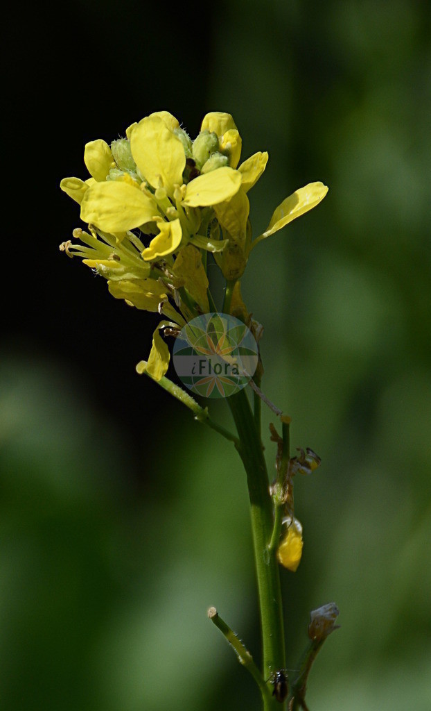 Hirschfeldia incana (Grausenf - Hoary Mustard) | Foto von Hirschfeldia incana (Grausenf - Hoary Mustard). Das Foto wurde in Bremen, Deutschland aufgenommen. ---- Photo of Hirschfeldia incana (Grausenf - Hoary Mustard).The picture was taken in Bremen, Germany.
