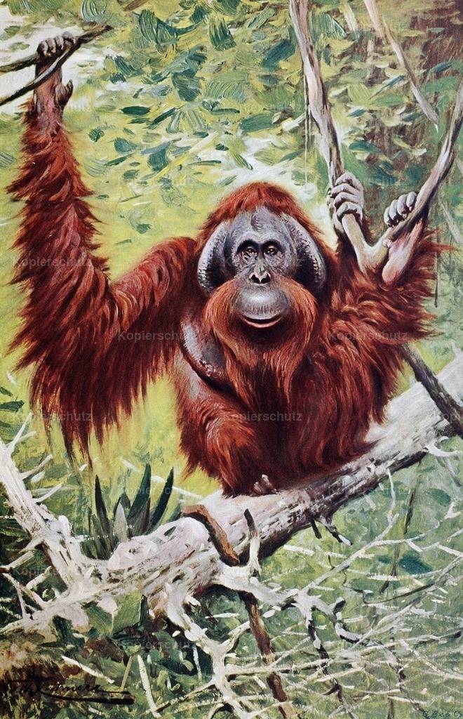 Kuhnert_ F.W. (1865-1926) - Wild Life of the World 1916 - Orangutan