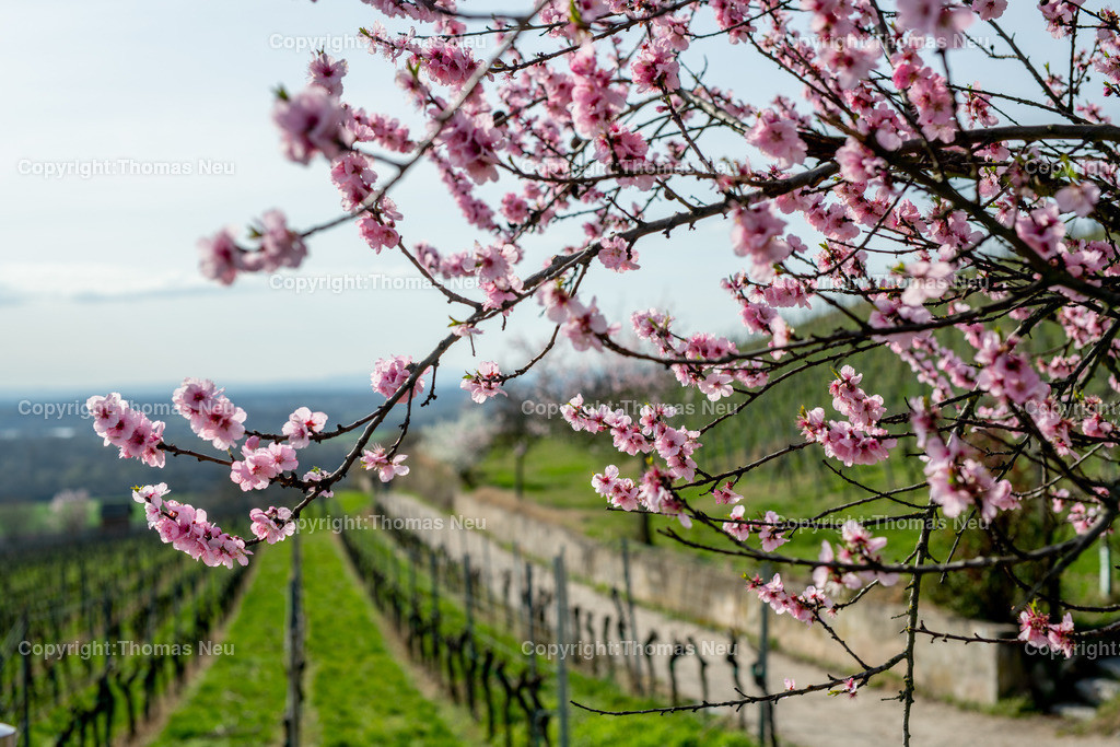 DSC_4800 | Bensheim, Weinberge zwischen Bensheim und Heppenheim, es ist die schönste Jahreszeit an der Bergstraße, die Mandelblüte verzaubert, die Weinberge laden zum bei warmen Tepmeraturen zum Spaziergang ein,  Bild: Thomas Neu