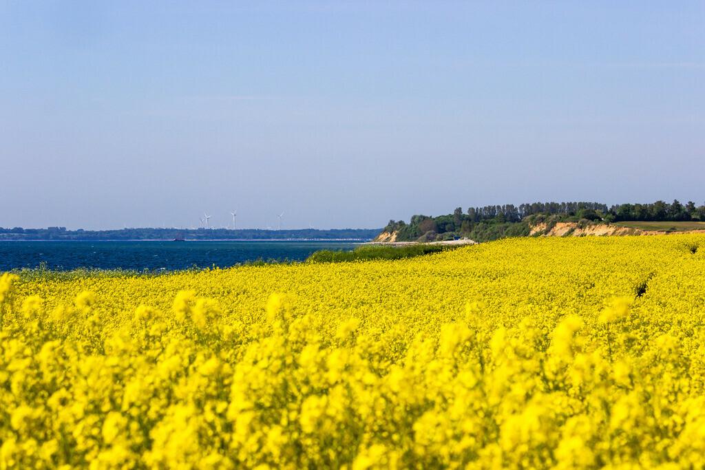 Steilküste in Waabs   Rapsblüte an der Steilküste in Waabs